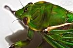Cicader Macro Zoom Close up Web #CreativeGallery