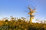 Vineyard tree Yarra Glen