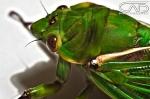 Macro Close up Cicader HDRPhotograph